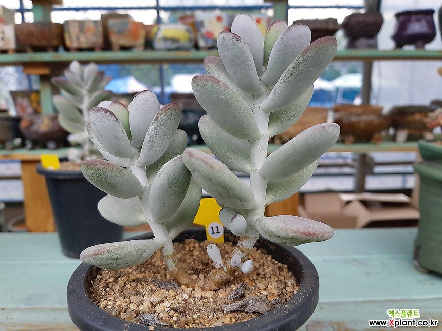 cotyledon orbiculata cv variegated succulent