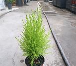 레몬부쉬유칼립투스허브 30 ~ 50cm
