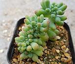 을려심철화-2|sedum pachyphyllum