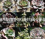 원종미니마교배종0131-1
