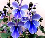 나비수국 소품 월동가능20~30cm