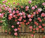 핑크로즈 사계 줄장미 넝쿨장미 화분상품♥HT 사계장미♥울타리 펜스 아치♥장미나무|