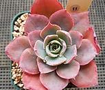 핫핑크빛 핑키|Echeveria cv Pinky