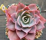 핫핑크색 핑키|Echeveria cv Pinky