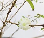 루비고무나무