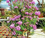 중품-분홍 겹 풍로초