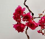 헨리오트러프(꽃대소품)-초콜렛향기