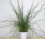 실버히메몬스테라 몬스테라 히메몬스테라 공기정화식물 한빛농원