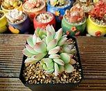핑크엣지 4-050|Echeveria pink edge