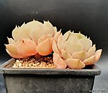 로라금무지 (잎꽃이금잘나옴)|Echeveria Derenceana(lola)
