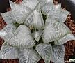 파르나시우스 소묘(Haworthia comptoniana Parnassius, offset)