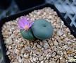 Conophytum cv. Rugosa, 2Heads