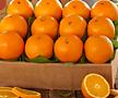 네이블 오렌지나무 대품♥네이블오렌지 오렌지 나무 시트러스