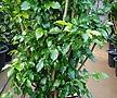 새로출시된 녹보수(대박나무) 대품 (잎이 많아 산소공급이 잘되는 아이에요)