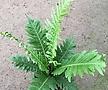 실버레이디/공기정화식물/35cm내외