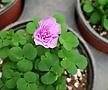 폼폼사랑초(분홍) 장미꽃처럼피는 아이에요