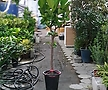 떡갈고무나무 대품 고무나무 공룡꽃식물원 30