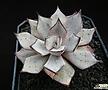 스트릭티플로라 v.노바 자구 (Echeveria strictiflora v. nova, offset)