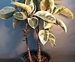 수채화고무나무( 중품)  한정판  높이 80-90