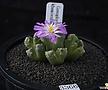 XP3366-Conophytum khamiesbergensis 카미에스버젠시스10두