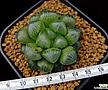 옵투사실생 (Haworthia obtusa seedling)