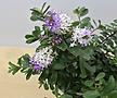 헤베 / 흰+보라색 꽃 / 샤로니