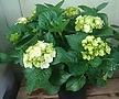수국 사계절피는꽃 월동