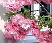 유럽풍 겹벚꽃나무 스탠다드 분달이 특품♥올해 꽃피는 왜성 외목수형♥겹벚나무 겹벚 겹벗 벚꽃 벗꽃 벚나무 벗나무