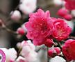 열매열린~홍도화 분달이 상품♥꽃이 예쁜 식물♥봄에 피는 꽃