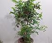 오렌지 자스민 쟈스민 (포트) 인테리어식물 공기정화식물 축하선물