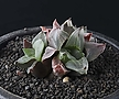 XP3499-Haworthia pygmaea  mutant 피그마에아 뮤턴트3두