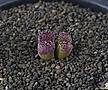 XP3428-C.pellucidum subsp. pellucidum var. neohallii Makins Plum 마킨스 플럼2두