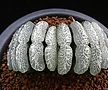 옥선 단지리 자구 (Haworthia truncata Dahnjiri)