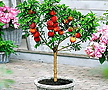 꽃사과 분재♥화분에서 키우는 과일나무♥미니사과 애기사과 화분 왜성 사과나무