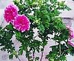 필두화꽃 나무 월동