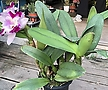 카틀레야 꽃이 피고지고 해요 :)