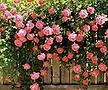 핑크로즈 사계 줄장미 넝쿨장미 화분상품♥HT 사계장미♥울타리 펜스 아치♥장미나무