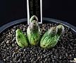 4344-C.marginatum ssp. karamoepense  카라모에펜스3두|4344-C.marginatumssp.karamoepense카라모에펜스3头|