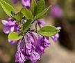 보랏빛 팥꽃나무 외목수형 화분상품♥보라색 꽃나무♥봄꽃나무||
