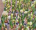 향수선화 (꽃대)