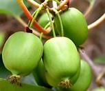 올해 열매 열리는 베이비키위베리 특대품♥월동가능 자가수정♥혼자서도 열매 맺어요.♥키위 키위베리 베이비키위 넝쿨 열매