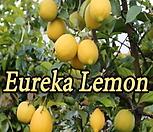 사계성 레몬트리 유레카 신품종♥레몬나무♥시트러스