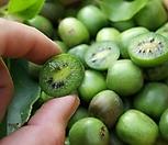 베이비키위베리♥월동가능 자가수정♥혼자서도 열매 맺어요.♥베이비 키위 베리 키위베리