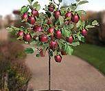 미니사과 루비에스 No.1♥왜성사과♥당도높은 신품종 사과나무♥화분째 배송상품♥미니 사과 애기사과