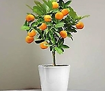 꽃피는 레드향 오렌지♥시트러스♥맛도 향도 좋아요~