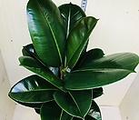 거실에 두면 효과 좋은 고무나무 인도고무나무 공기정화식물