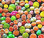 리톱스씨앗 믹스 300립 ( Lithops mix seed ) 280여종믹스-----다육이 화분 비료 분갈이 철화 선인장 분재 꽃