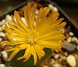 C. bilobum (빌로붐렌덤뿌리무)