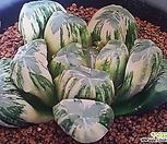 우도금 (Haworthia maughanii hyb. Udo variegated, 자구)