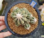 28두 실생 화롱(花籠) (Aztekium ritteri, seedling)